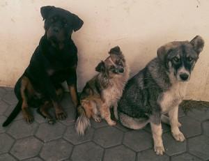 3 caini ioana spune
